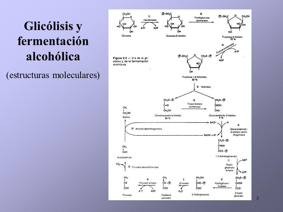 14 (1): piruvato deshidrogenasa, (2): citrato sintasa, (3): aconitasa, (4): isocitrato deshidrogenasa, (5): -cetoglutarato deshidrogenasa y succinil CoA sintetasa (enzimas reprimidos en condiciones enológicas), (6): succinato deshidrogenasa, (7): fumarato reductasa, (8): fumarasa, (9): malato deshidrogenasa, (10): piruvato carboxilasa, funcionamiento oxidativo (A) y reductivo (B) del ciclo de los ácidos tricarboxílicos.