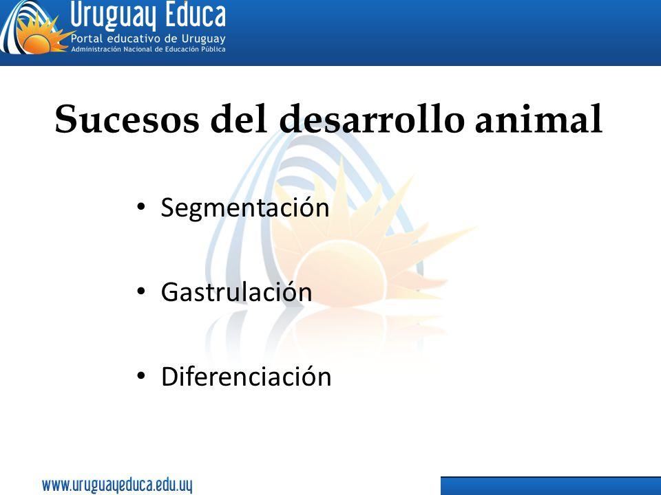 Sucesos del desarrollo animal Segmentación Gastrulación Diferenciación