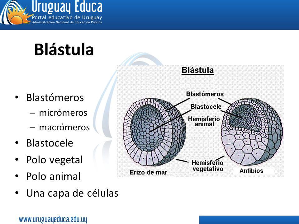 Blástula Blastómeros – micrómeros – macrómeros Blastocele Polo vegetal Polo animal Una capa de células