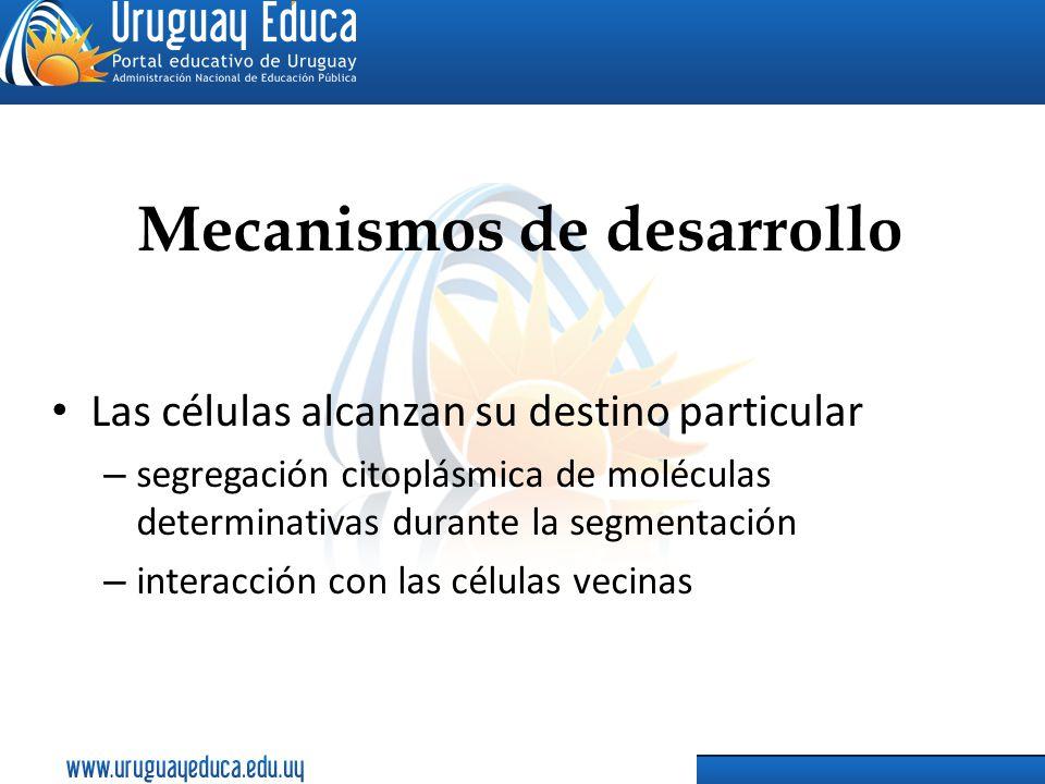 Mecanismos de desarrollo Las células alcanzan su destino particular – segregación citoplásmica de moléculas determinativas durante la segmentación – i