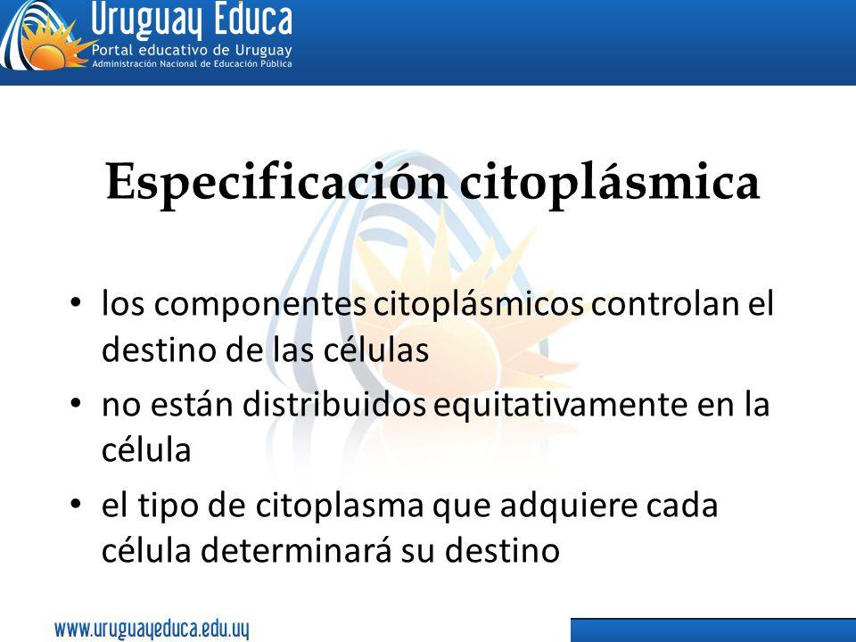 Especificación citoplásmica los componentes citoplásmicos controlan el destino de las células no están distribuidos equitativamente en la célula el ti