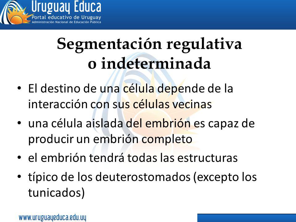 Segmentación regulativa o indeterminada El destino de una célula depende de la interacción con sus células vecinas una célula aislada del embrión es c