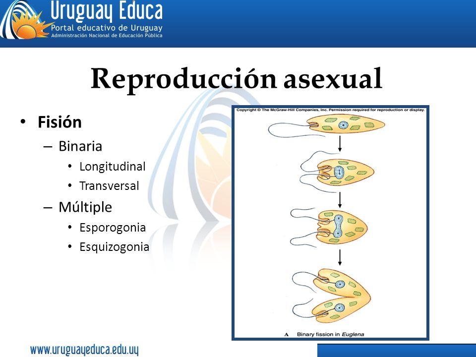 Reproducción asexual Fisión – Binaria Longitudinal Transversal – Múltiple Esporogonia Esquizogonia