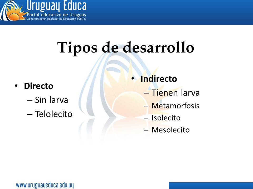 Tipos de desarrollo Directo – Sin larva – Telolecito Indirecto – Tienen larva – Metamorfosis – Isolecito – Mesolecito