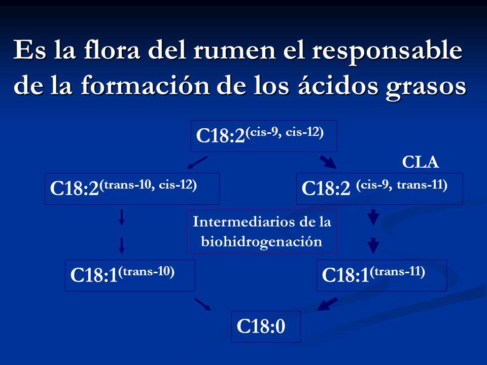 Es la flora del rumen el responsable de la formación de los ácidos grasos C18:2 (cis-9, cis-12) C18:2 (cis-9, trans-11) C18:2 (trans-10, cis-12) C18:1