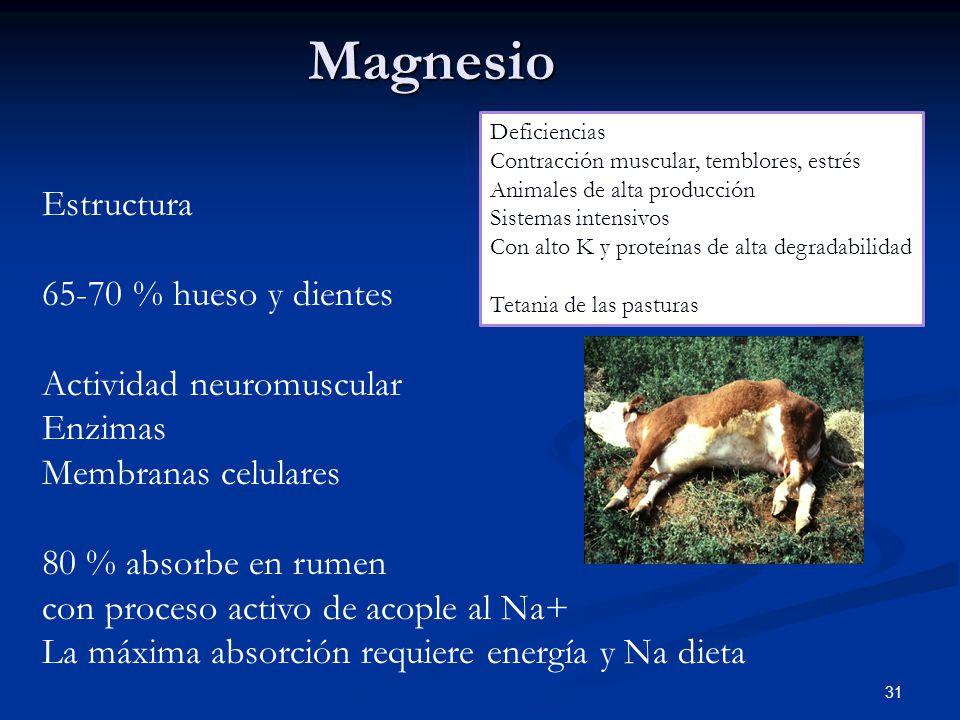 Magnesio 31 Estructura 65-70 % hueso y dientes Actividad neuromuscular Enzimas Membranas celulares 80 % absorbe en rumen con proceso activo de acople