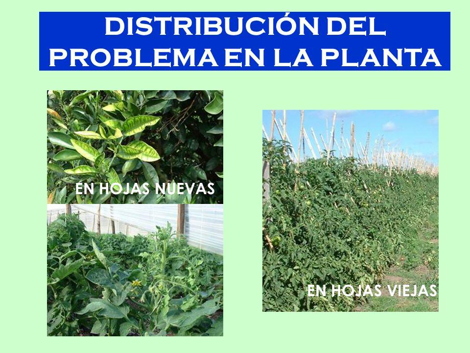 DISTRIBUCIÓN DEL PROBLEMA EN LA PLANTA EN HOJAS VIEJAS EN HOJAS NUEVAS
