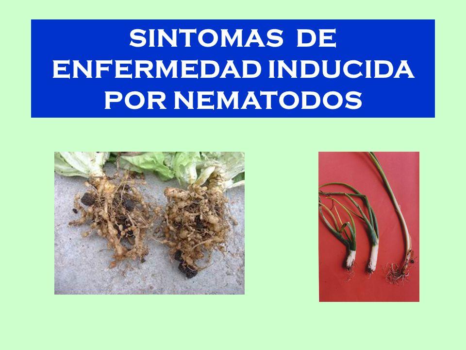 SINTOMAS DE ENFERMEDAD INDUCIDA POR NEMATODOS