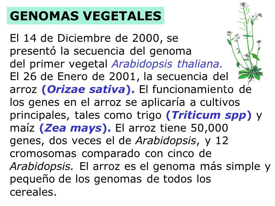 Humanos 30,000 genes GENÓMICA Chimpancé 30,000 genes A. thaliana 25,000 genes Ratón 30,000 genes C. elegans 19,000 genes D. melanogaster 13,000 genes