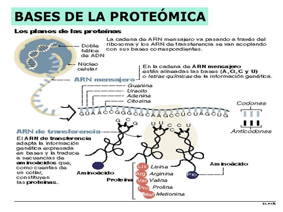 PROTEÓMICA: describir y conocer la función de las proteínas (clave para entender y tratar las enfermedades) Al entender a las proteínas, los científic