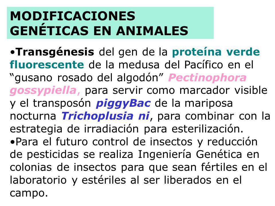Xenotransplantes en cerdos: inactivación del gen 1,3 galactosil transferasa, disminución de la expresión del gen antiVCAM, y transferencia del gen hum