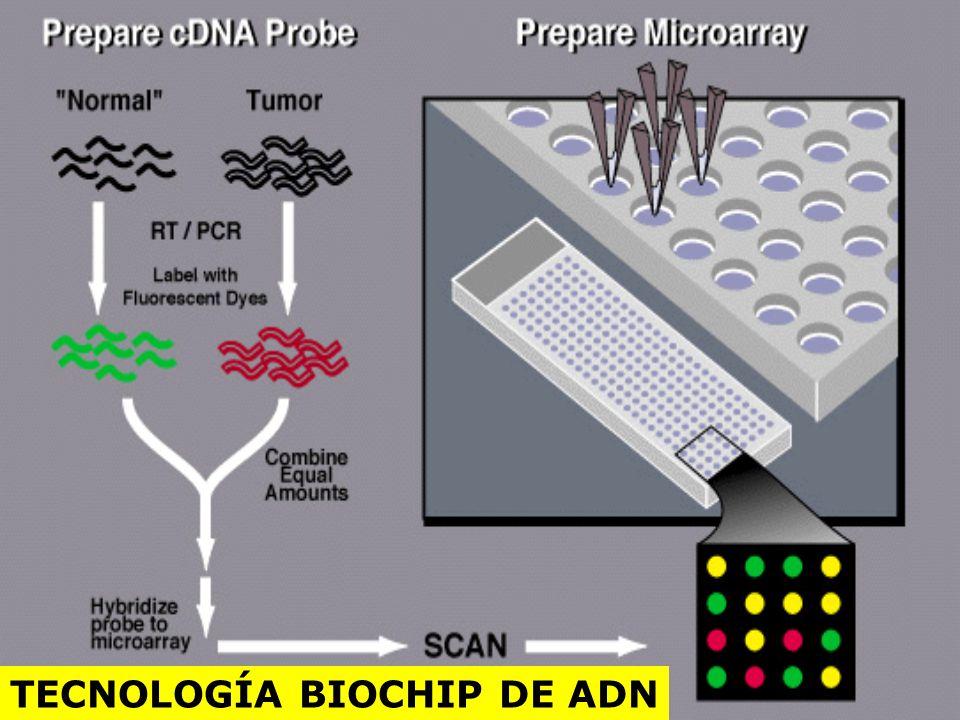 El microarreglo génico está basado en una base de datos de mas de 40,000 fragmentos de genes llamados Secuencias Expresadas Marcadoras (ESTs). Cientos