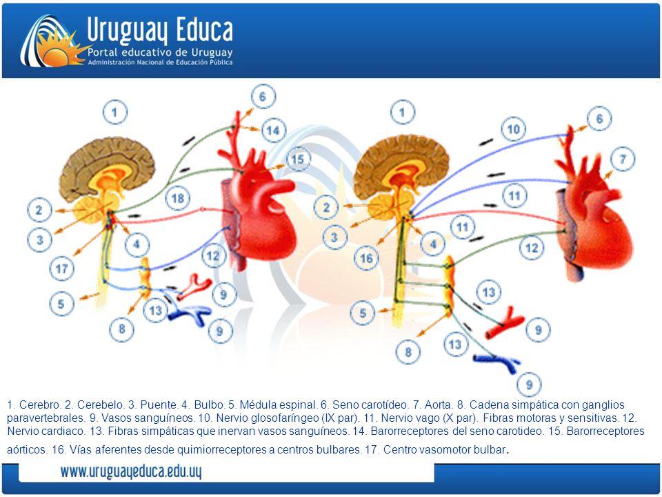 1. Cerebro. 2. Cerebelo. 3. Puente. 4. Bulbo. 5. Médula espinal. 6. Seno carotídeo. 7. Aorta. 8. Cadena simpática con ganglios paravertebrales. 9. Vas
