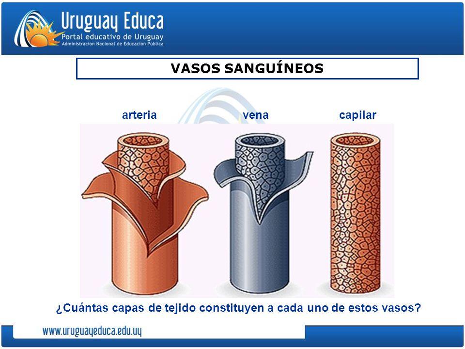 VASOS SANGUÍNEOS ¿Cuántas capas de tejido constituyen a cada uno de estos vasos? arteriavenacapilar