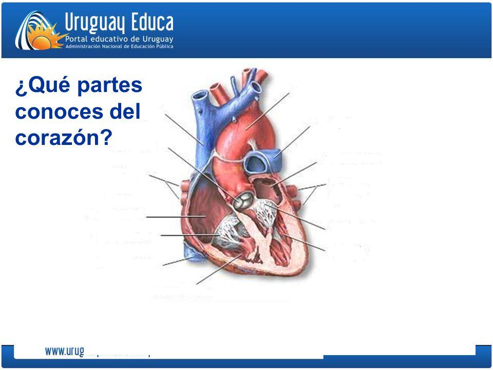 ¿Qué partes conoces del corazón?