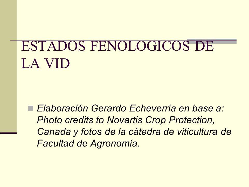 ESTADOS FENOLOGICOS DE LA VID Elaboración Gerardo Echeverría en base a: Photo credits to Novartis Crop Protection, Canada y fotos de la cátedra de viticultura de Facultad de Agronomía.