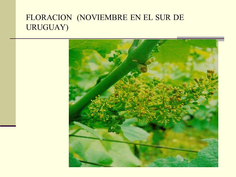 FLORACION (NOVIEMBRE EN EL SUR DE URUGUAY)