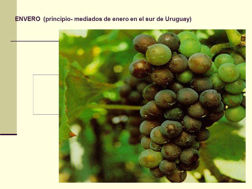 ENVERO (principio- mediados de enero en el sur de Uruguay)