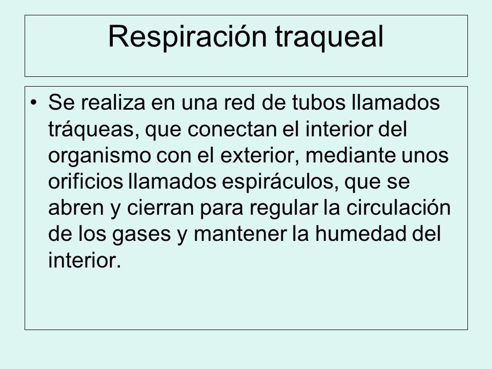 Respiración traqueal Se realiza en una red de tubos llamados tráqueas, que conectan el interior del organismo con el exterior, mediante unos orificios