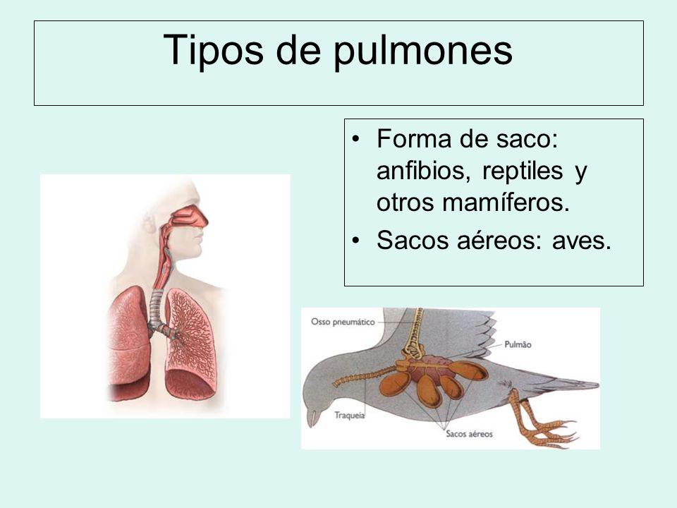 Tipos de pulmones Forma de saco: anfibios, reptiles y otros mamíferos. Sacos aéreos: aves.