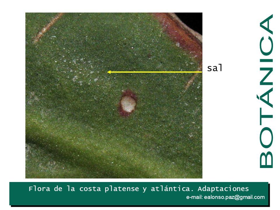 Flora de la costa platense y atlántica. Adaptaciones e-mail: ealonso.paz@gmail.com. Iris sal