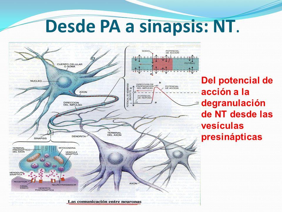 Desde PA a sinapsis: NT. Del potencial de acción a la degranulación de NT desde las vesículas presinápticas