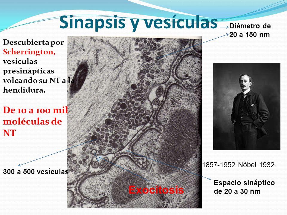 Sinapsis y vesículas Descubierta por Scherrington, vesículas presinápticas volcando su NT a la hendidura. De 10 a 100 mil moléculas de NT 1857-1952 Nó