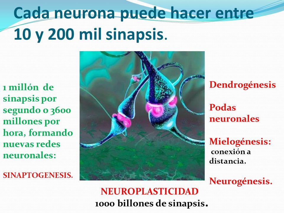 Cada neurona puede hacer entre 10 y 200 mil sinapsis. 1 millón de sinapsis por segundo o 3600 millones por hora, formando nuevas redes neuronales: SIN