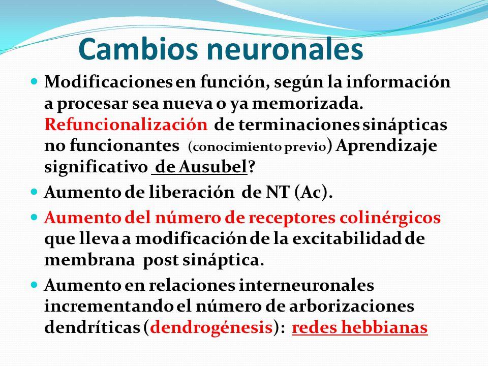 Cambios neuronales Modificaciones en función, según la información a procesar sea nueva o ya memorizada. Refuncionalización de terminaciones sináptica