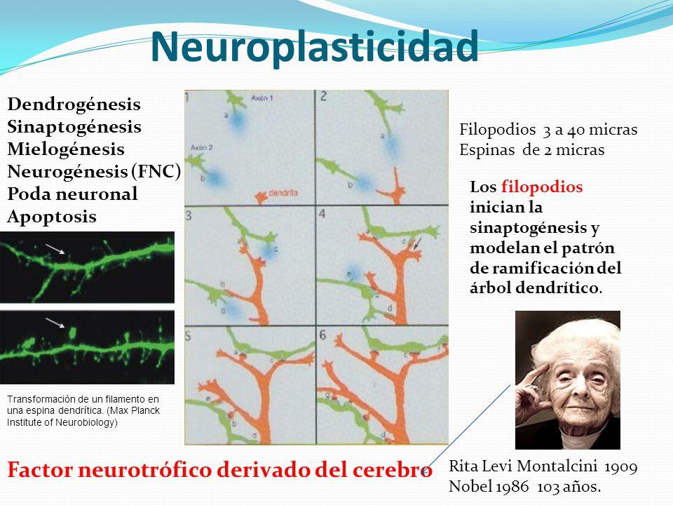 Neuroplasticidad Dendrogénesis Sinaptogénesis Mielogénesis Neurogénesis (FNC) Poda neuronal Apoptosis Filopodios 3 a 40 micras Espinas de 2 micras Los