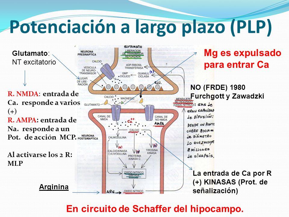 Potenciación a largo plazo (PLP) R. NMDA: entrada de Ca. responde a varios (+) R. AMPA: entrada de Na. responde a un Pot. de acción MCP. Al activarse