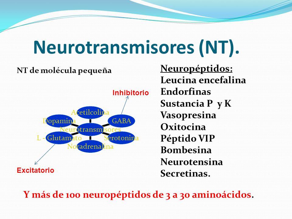 Neurotransmisores (NT). Neurotransmisores AcetilcolinaGABASerotoninaNoradrenalinaL - GlutamatoDopamina Y más de 100 neuropéptidos de 3 a 30 aminoácido