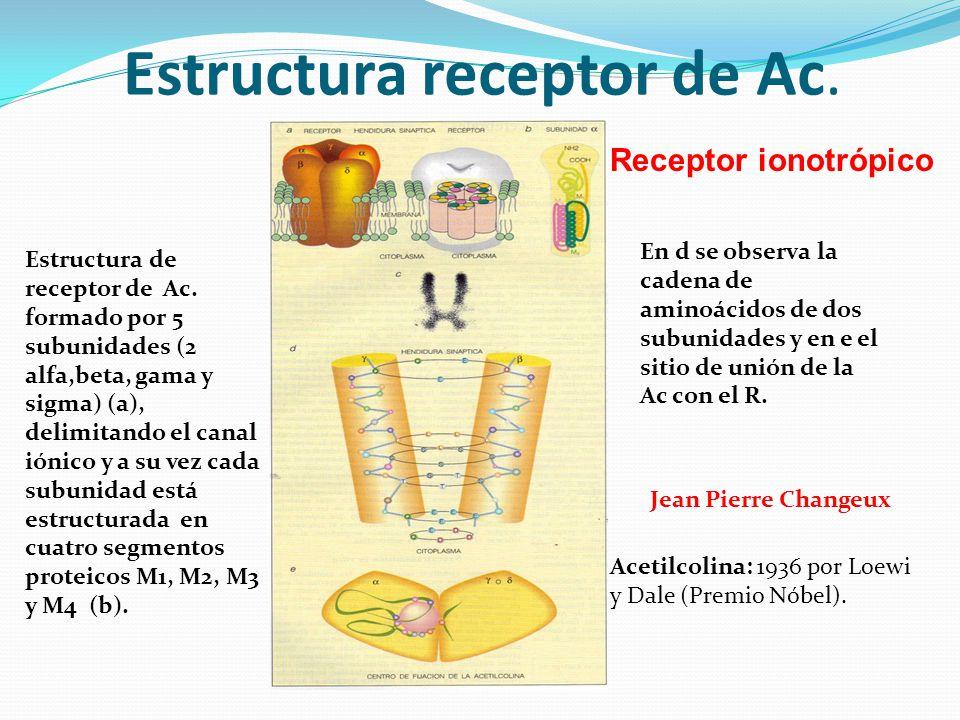 Estructura receptor de Ac. Estructura de receptor de Ac. formado por 5 subunidades (2 alfa,beta, gama y sigma) (a), delimitando el canal iónico y a su