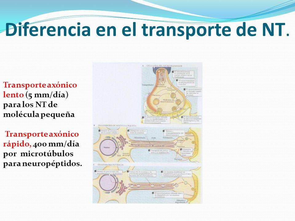 Diferencia en el transporte de NT. Transporte axónico lento (5 mm/día) para los NT de molécula pequeña Transporte axónico rápido, 400 mm/día por micro