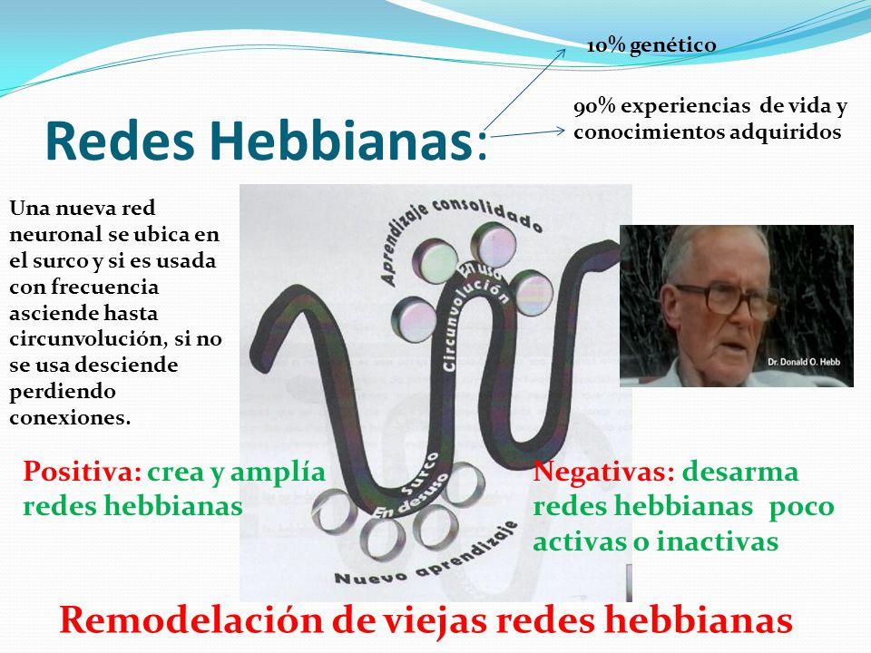 Redes Hebbianas: Una nueva red neuronal se ubica en el surco y si es usada con frecuencia asciende hasta circunvolución, si no se usa desciende perdie