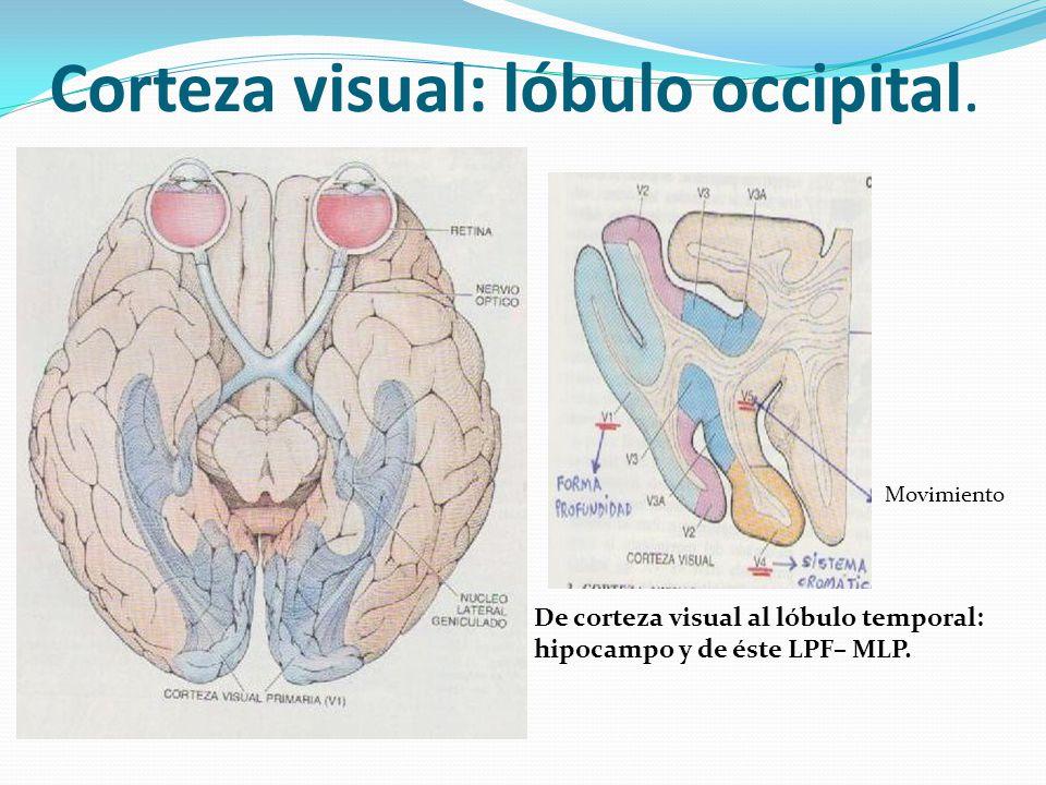 Corteza visual: lóbulo occipital. Movimiento De corteza visual al lóbulo temporal: hipocampo y de éste LPF– MLP.