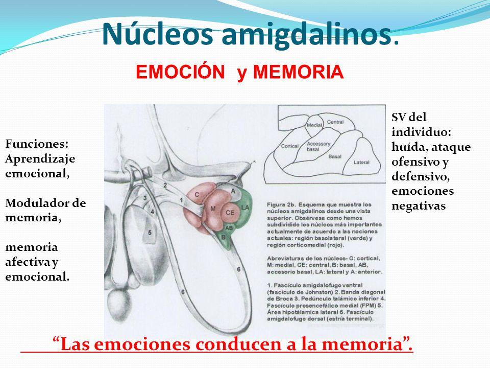 Núcleos amigdalinos. Funciones: Aprendizaje emocional, Modulador de memoria, memoria afectiva y emocional. SV del individuo: huída, ataque ofensivo y