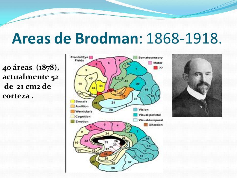 Areas de Brodman: 1868-1918. 40 áreas (1878), actualmente 52 de 21 cm2 de corteza.