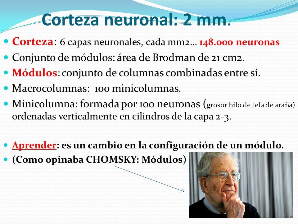 Corteza neuronal: 2 mm. Corteza: 6 capas neuronales, cada mm2… 148.000 neuronas Conjunto de módulos: área de Brodman de 21 cm2. Módulos: conjunto de c