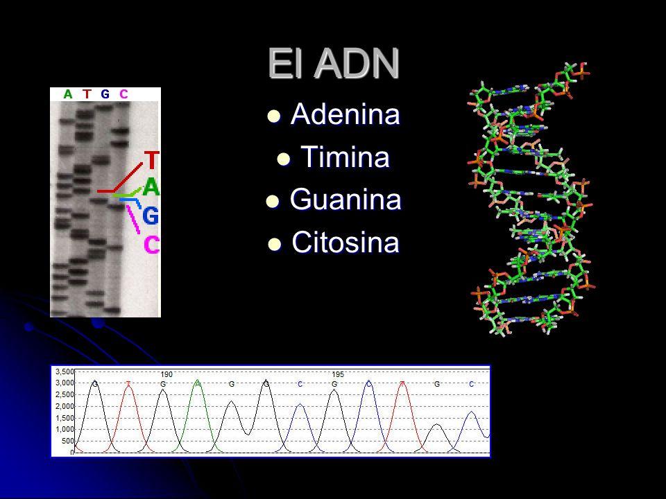 El ADN Adenina Adenina Timina Timina Guanina Guanina Citosina Citosina