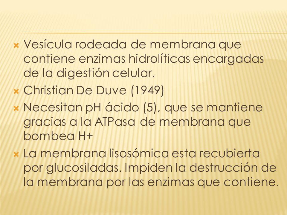 Vesícula rodeada de membrana que contiene enzimas hidrolíticas encargadas de la digestión celular. Christian De Duve (1949) Necesitan pH ácido (5), qu