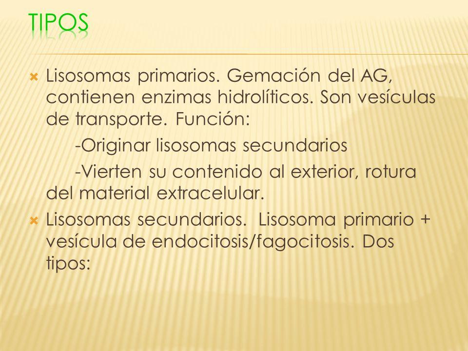 Lisosomas primarios. Gemación del AG, contienen enzimas hidrolíticos. Son vesículas de transporte. Función: -Originar lisosomas secundarios -Vierten s