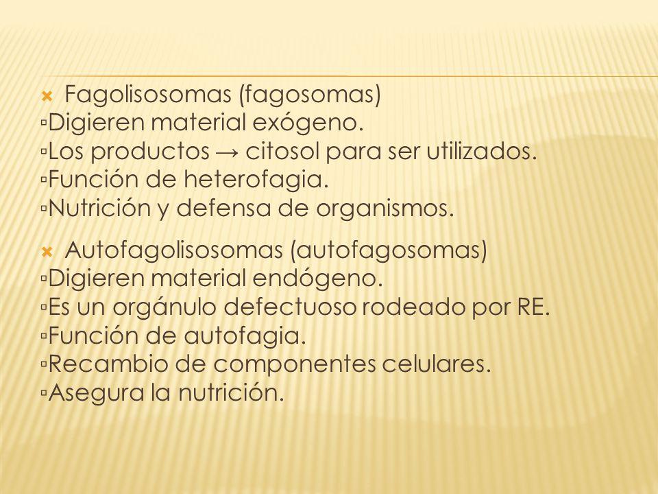 Fagolisosomas (fagosomas) Digieren material exógeno. Los productos citosol para ser utilizados. Función de heterofagia. Nutrición y defensa de organis