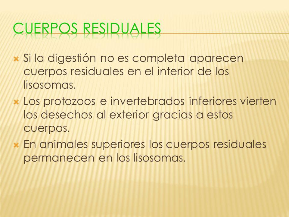 Si la digestión no es completa aparecen cuerpos residuales en el interior de los lisosomas. Los protozoos e invertebrados inferiores vierten los desec
