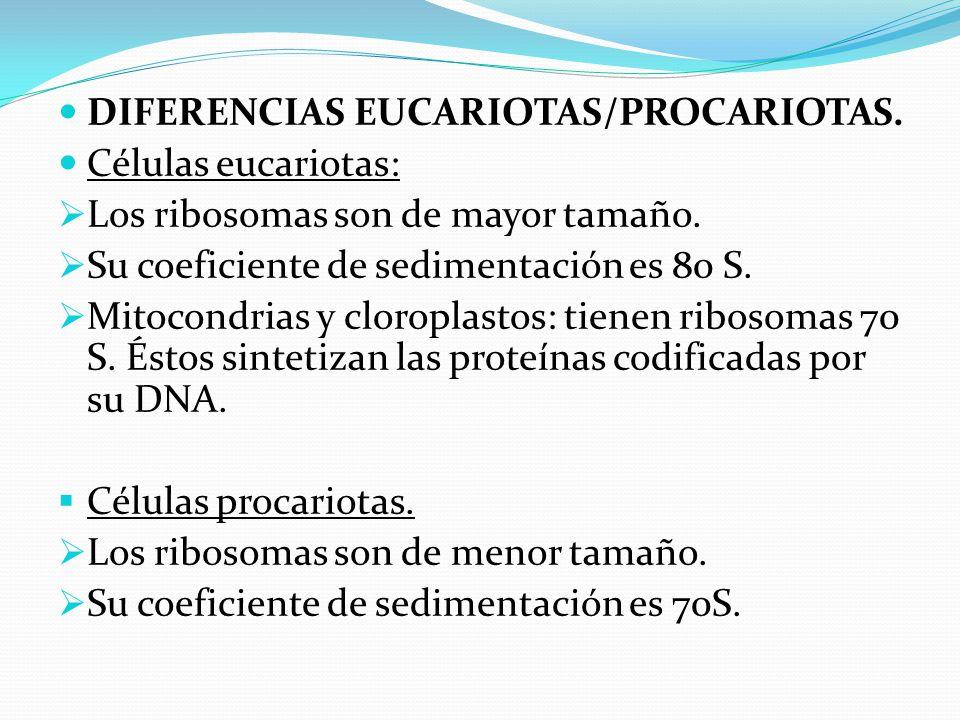 DIFERENCIAS EUCARIOTAS/PROCARIOTAS.Células eucariotas: Los ribosomas son de mayor tamaño.