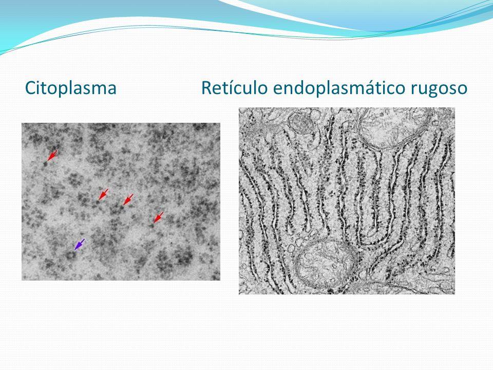 FUNCIÓN Síntesis de proteínas.