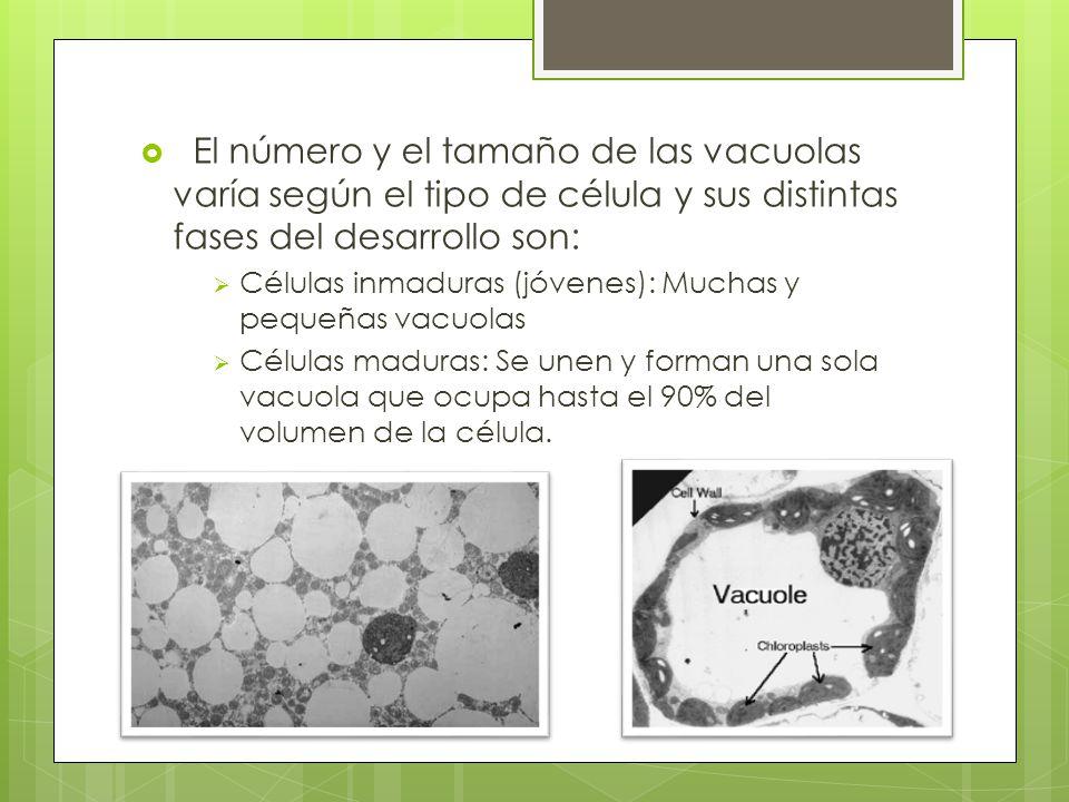 El número y el tamaño de las vacuolas varía según el tipo de célula y sus distintas fases del desarrollo son: Células inmaduras (jóvenes): Muchas y pequeñas vacuolas Células maduras: Se unen y forman una sola vacuola que ocupa hasta el 90% del volumen de la célula.