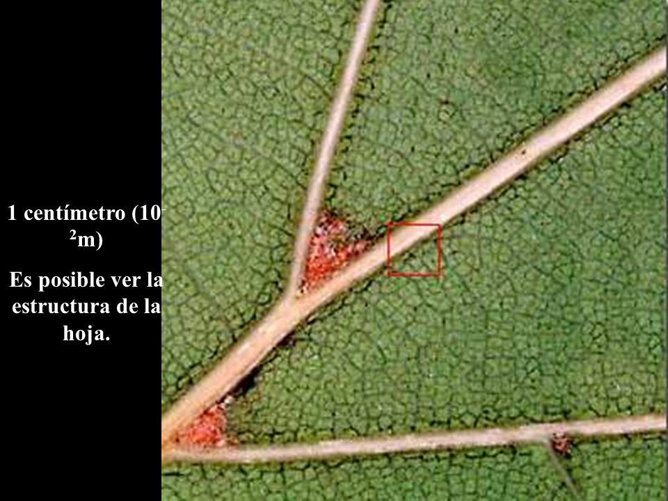 1 centímetro (10 - 2 m) Es posible ver la estructura de la hoja.
