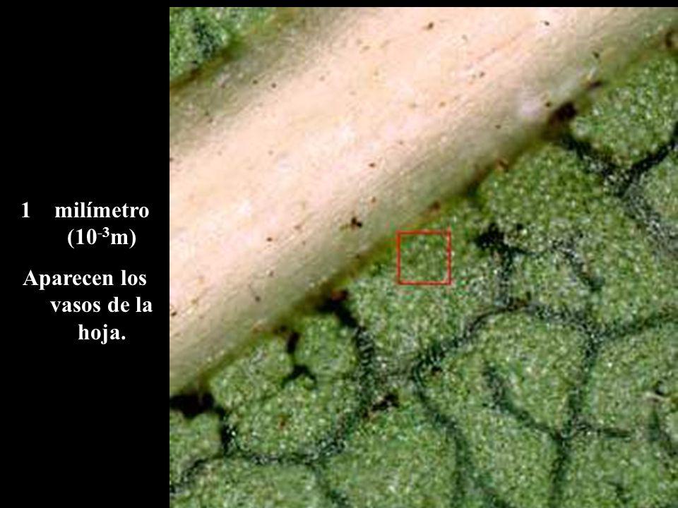1milímetro (10 -3 m) Aparecen los vasos de la hoja.