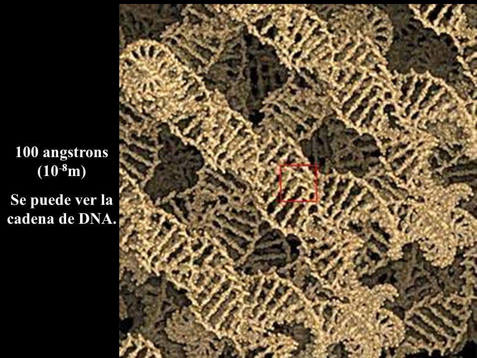 100 angstrons (10 -8 m) Se puede ver la cadena de DNA.